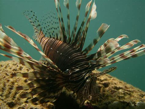 torch invasive voracious  venomousis  lionfish