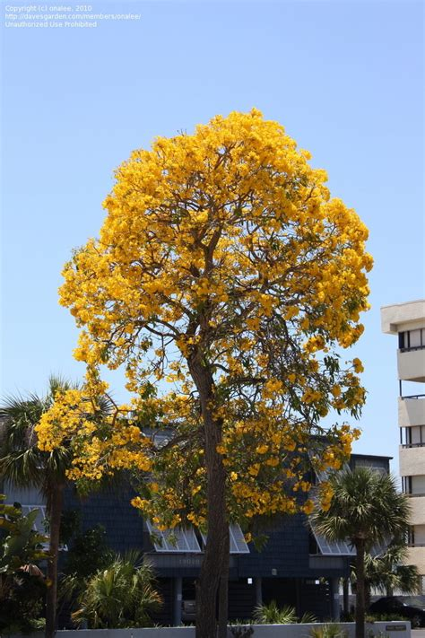 trumpet tree plantfiles pictures caribbean trumpet tree yellow tabebuia paraguayan trumpet tree silver
