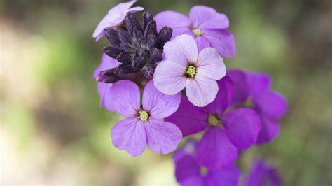 bees wallflower flowers bedding attract perennial