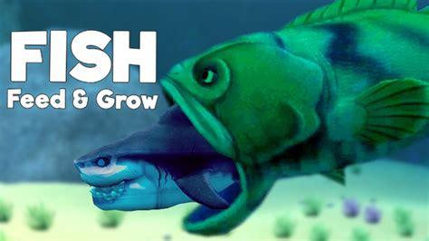 grouper shark eats goliath fish grow feed giant update