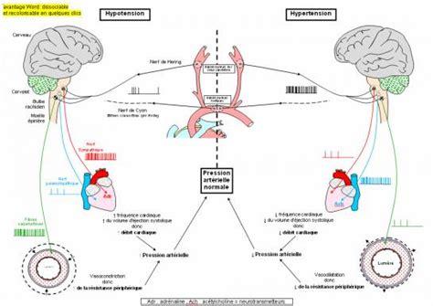 schema bilan regulation pression arterielle