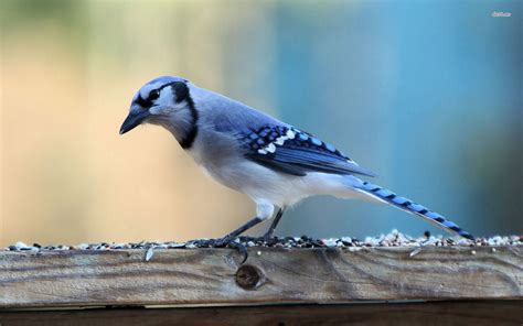 blue jay full hd wallpaper  background image
