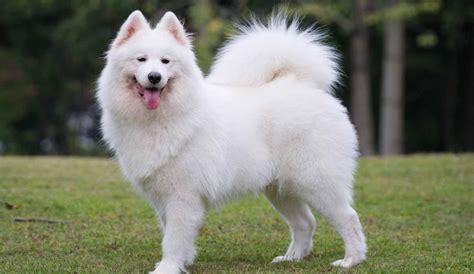 Samoyed Puppies For Sale Samoyed Breed Profile