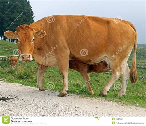 Calf While Drinking The Milk From The Udder Of The Cow