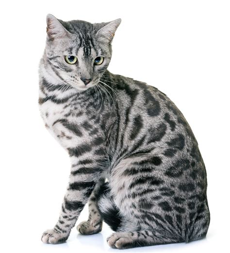 12 Outrageous Ideas For Your Bengal Kittens Grey And White