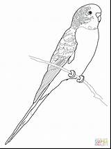 Budgie Coloring Pages Parakeet Parrot Budgerigar Colouring Printable Bird Drawing Perruche Clipart Coloriage Budgerigars Drawings Adult Patterns Budgies Version Supercoloring sketch template
