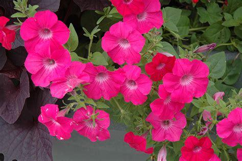 tidal wave petunias tidal wave cherry petunia petunia tidal wave cherry in winnipeg manitoba mb at