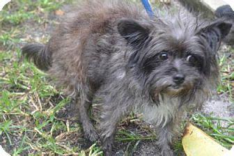 Mi Fl Affenpinscher Meet Lea A Dog For Adoption