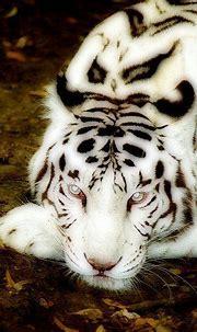 Albino Tiger with blue eyes   Rare albino animals, Albino ...
