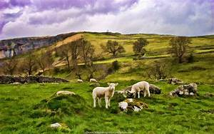 Sheep in Yorkshire Countryside Artistic Wallpapers ...