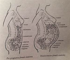 Pregnant Woman Anatomy