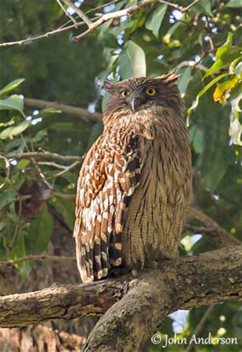 brown fish owl owl rescue