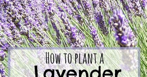 lavender care and maintenance planting a lavender hedge gardens lavender hedge and things to do