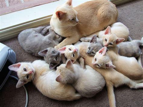 combien de portee par an pour un chat port 233 e de chat chaton sur chat mignon