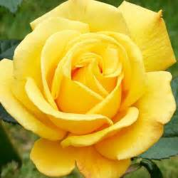 Most Fragrant Yellow Rose
