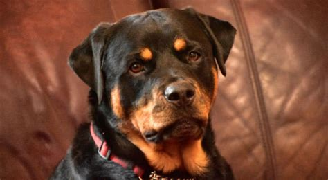 how bad do rottweilers shed advice from real rottweiler