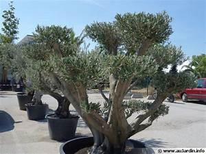 Planter Un Olivier En Pot : planter un olivier en pot ~ Dailycaller-alerts.com Idées de Décoration