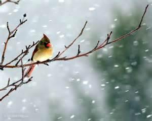 Cardinal Winter Bird Desktop Wallpaper