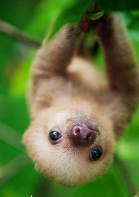 Cute Baby Wallpaper Sloth