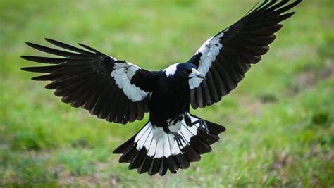 steer clear  duck  run   magpies