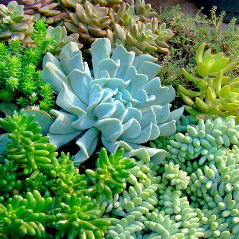 Succulent Varieties 15cm | GardenShop