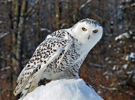 snowy owl photograph by rodney cbell
