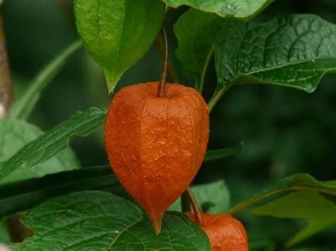 grow chinese lantern flower physalis alkekengi gardening channel