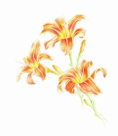 Daylily Illustrations Clip Vector