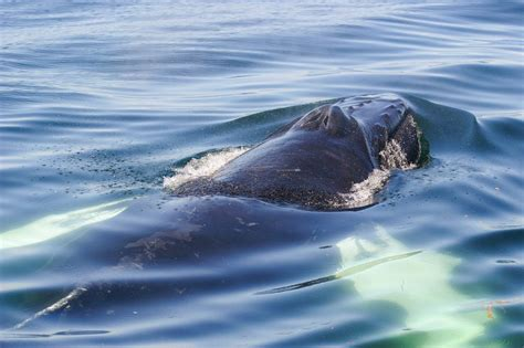 Very close surfacing by a Humpback Whale! © Mandy Houston ...