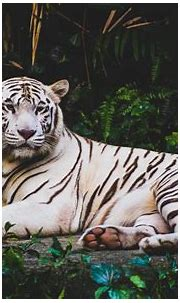 White Tiger HD 4K Wallpapers   HD Wallpapers   ID #21221