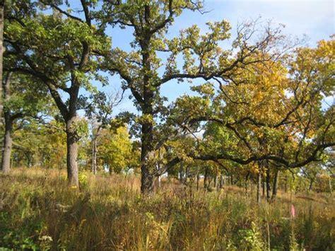 savanna oak oak savannas