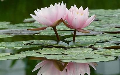 Lotus Flower Flowers Wallpapers Wallpapertag