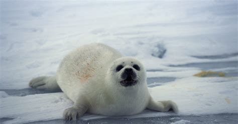 cool facts  seals   tundra ehow uk