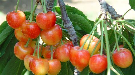 每颗就要七块钱?想吃国产大樱桃最好再等等|大樱桃|红樱桃 ...