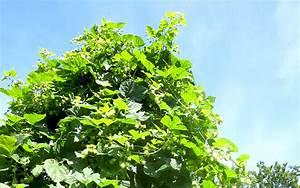 Hopfen Im Kübel Pflanzen : zwerg hopfen pflanze humulus lupulus hopfen haarstrang hundszunge pflanzen saatgut ~ Markanthonyermac.com Haus und Dekorationen