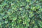 Ivy Hedge Overgrown · Free photo on Pixabay