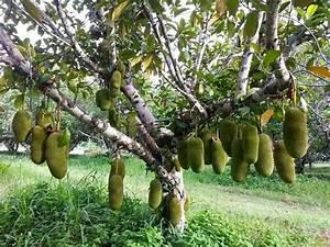 Jack_fruit_plant_picture01