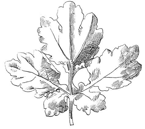 Kleurplaat Acanthus by Vintage Clip Beautiful Black And White Leaf Images