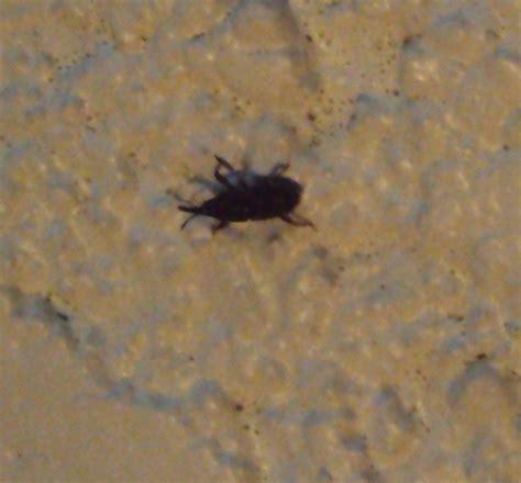 insecte de cuisine petit insecte noir qui pullule dans notre cave notre planete info