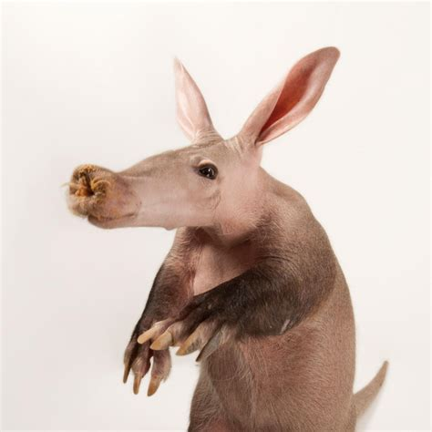 aardvark animals mammals asus