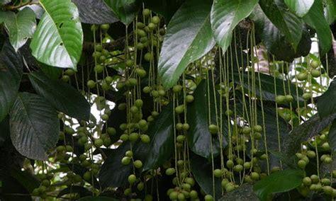tanaman obat tanaman khasiat sebagai obat haid