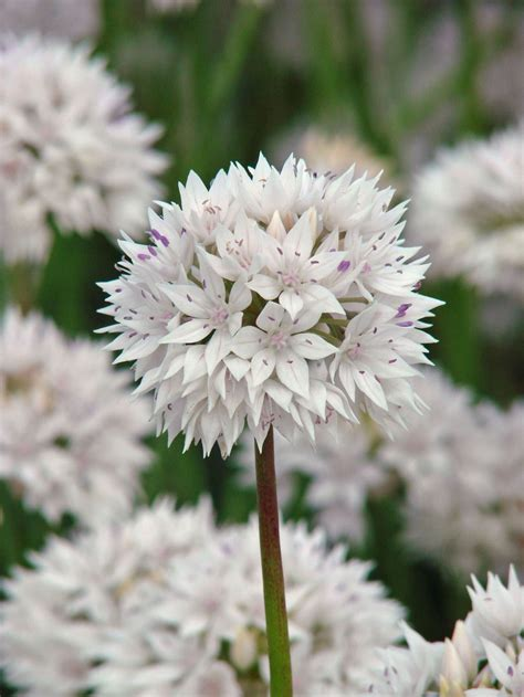 allium bulbs pick your favorite alliums and pin it to win it longfield gardens