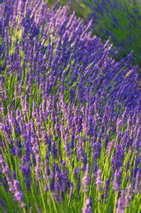 easy  grow flowers  maintenance perennials
