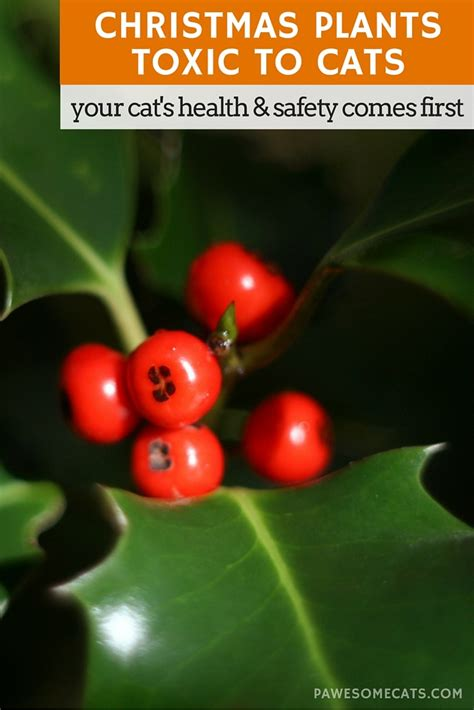 holly mistletoe and other christmas plants toxic to cats