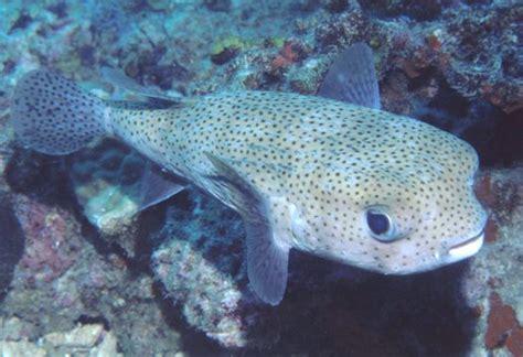 Diodon Hystrix (spot-fin Porcupinefish