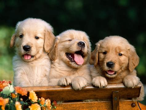 golden retrievers fun animals wiki  pictures