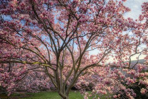magnoloa tree magnolia tree