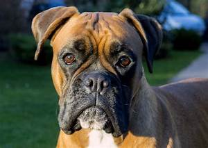 Free Image Of Boxer dog face