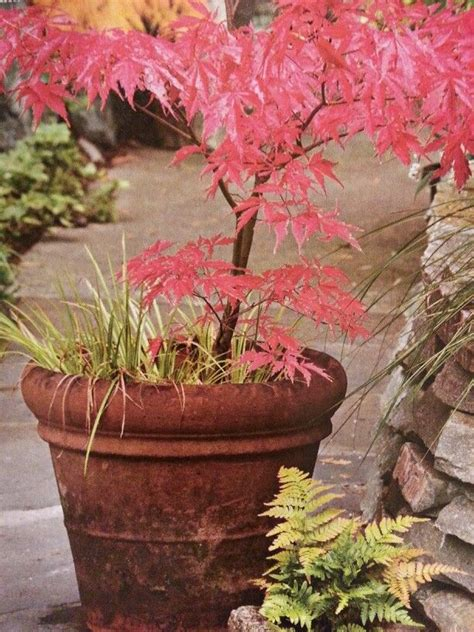 best japanese maples for containers 47 best images about japanese maples in containers on pinterest gardens olympia and japanese