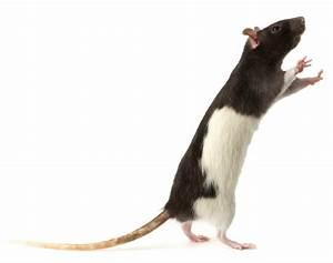 Wie Vertreibt Man Ratten : ratten als haustiere haltung z chter und mehr ~ Eleganceandgraceweddings.com Haus und Dekorationen
